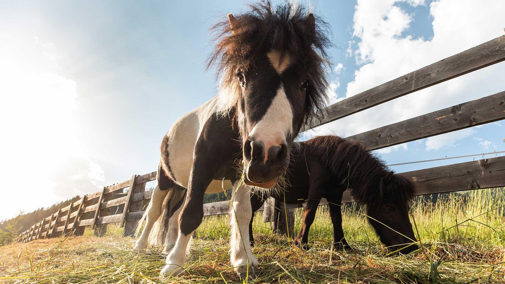 Ponys im Streichelzoo
